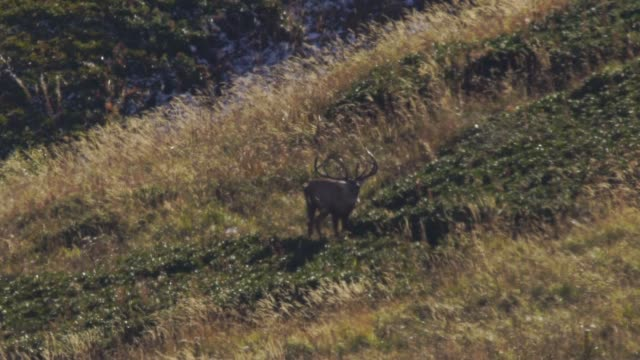 red deer in mountains - documentary footage stock videos & royalty-free footage