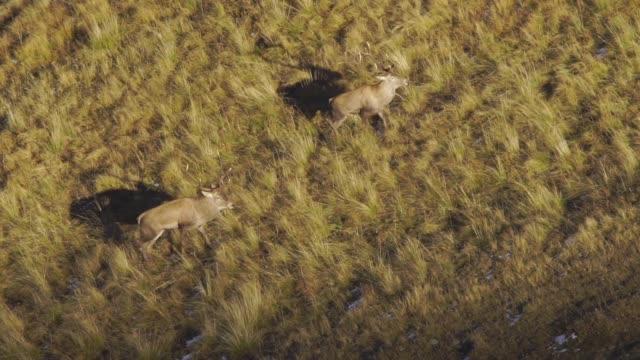 vidéos et rushes de red deer dans la montagne - partie du corps d'un animal