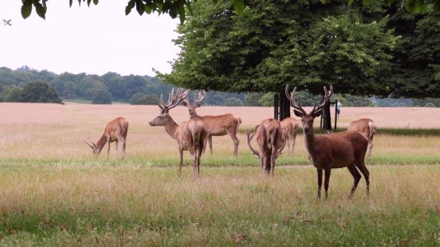 red deer in richmond park - antler stock videos & royalty-free footage
