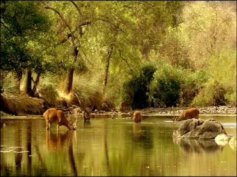 red deer (cervus elaphus) in river, sierra morena, andalusia, southern spain - herbivorous stock videos & royalty-free footage