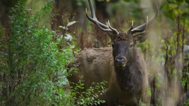 red deer in woodland - reportage stock videos & royalty-free footage