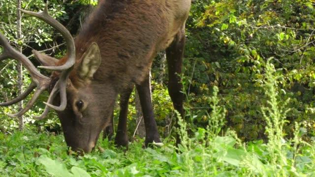 red deer in woodland - documentary footage stock videos & royalty-free footage