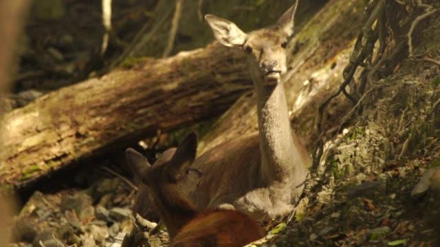 red deer in woodland - invertebrate stock videos & royalty-free footage