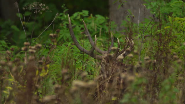 red deer in woodland - hiding stock videos & royalty-free footage
