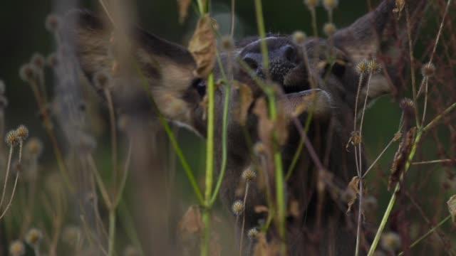 ウッドランドのレッド ・ ディア - アカシカ点の映像素材/bロール