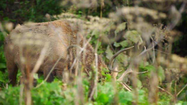 vídeos y material grabado en eventos de stock de ciervo en el bosque - animales acechando