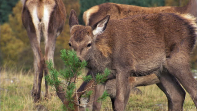 red deer (cervus elaphus) investigates pine tree sapling, scotland, uk - rothirsch stock-videos und b-roll-filmmaterial