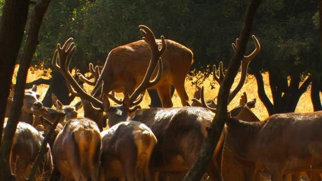red deer (cervus elaphus), israel - herbivorous stock videos and b-roll footage