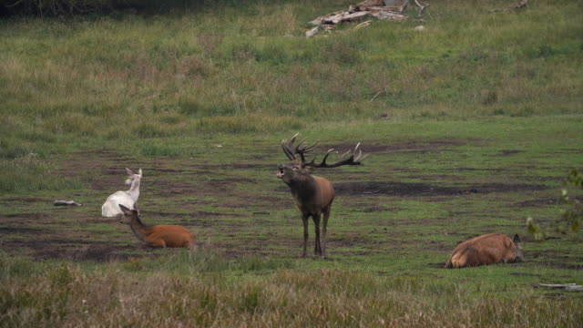red deer mating season - deer stock videos & royalty-free footage
