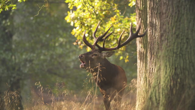 red deer mating season - mating stock videos & royalty-free footage