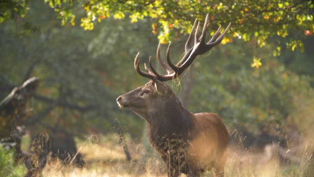 stockvideo's en b-roll-footage met red deer paring seizoen - animal