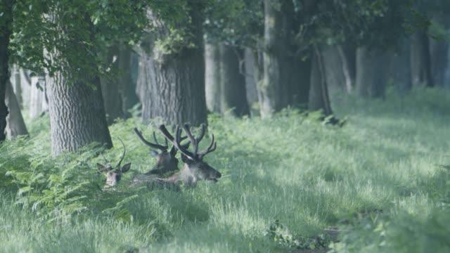 red deer (cervus elaphus) new forest woodland clearing. - antler stock videos & royalty-free footage