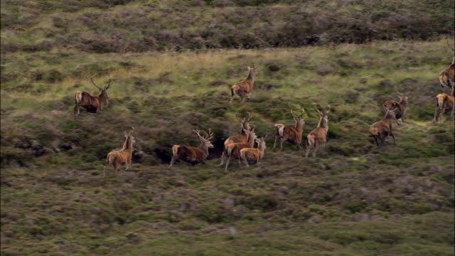 red deer on cairngorm moor - アカシカ点の映像素材/bロール