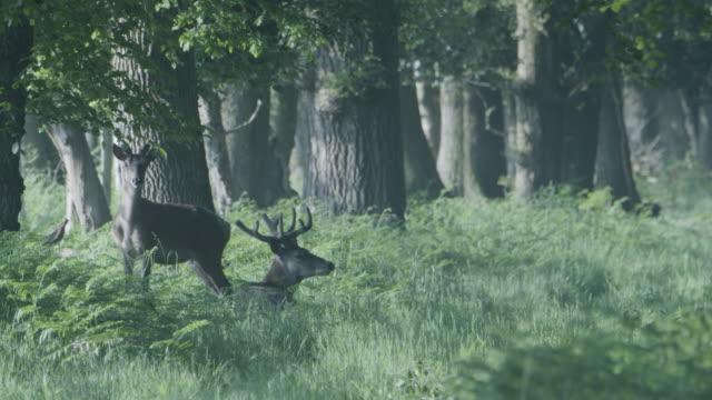red deer (cervus elaphus) resting in new forest - hooved animal stock videos & royalty-free footage