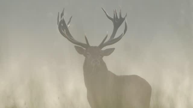 朝の赤い鹿(セルヴァス・エラフス)の轟音 - 牡鹿点の映像素材/bロール