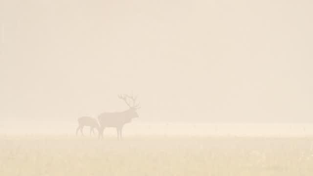 red deer (cervus elaphus) roaring in the morning - hoofed mammal stock videos & royalty-free footage