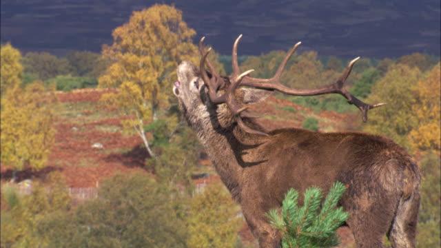 red deer (cervus elaphus) stag bellows amongst hinds during rut, scotland, uk - 牡鹿点の映像素材/bロール