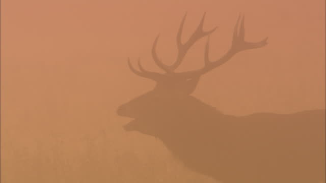 red deer (cervus elaphus) stag bellows in mist at dawn, richmond park, london, uk - deer stock videos & royalty-free footage