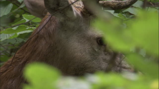 red deer stag browses on foliage, bialowieza, poland - deer stock videos & royalty-free footage