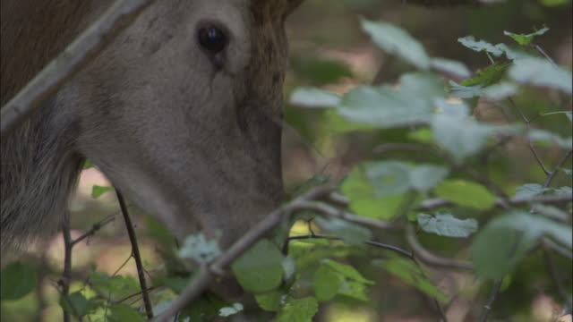 red deer stag browses on foliage, bialowieza, poland - hirsch stock-videos und b-roll-filmmaterial