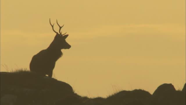 ms red deer stag cervus elaphus standing on hillside in silhouette in the hebrides - hebrides stock videos & royalty-free footage