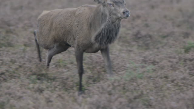 red deer stag (cervus elaphus) chases off another male - 牡鹿点の映像素材/bロール