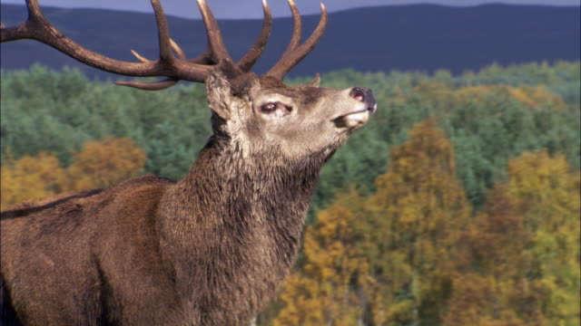 red deer (cervus elaphus) stag during rut, scotland, uk - domination stock videos & royalty-free footage