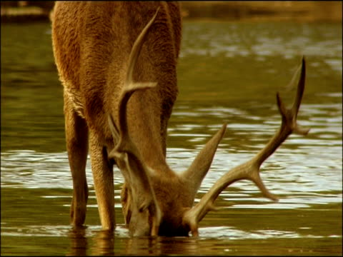 red deer (cervus elaphus) stag eating weed from river bed, sierra morena, andalusia, southern spain - 枝角点の映像素材/bロール