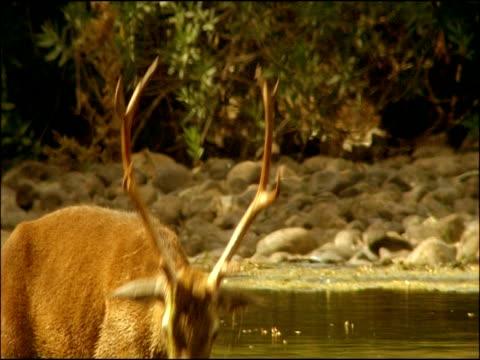red deer (cervus elaphus) stag eating weed from river bed, sierra morena, andalusia, southern spain - herbivorous stock videos & royalty-free footage