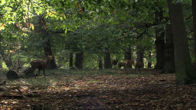 red deer (cervus elaphus) stag enters clearing with females during rut, richmond park, london, uk - richmond upon thames stock-videos und b-roll-filmmaterial