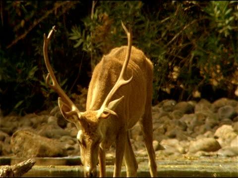 red deer (cervus elaphus) stag feeding in river, looks up, alert, sierra morena, andalusia, southern spain - herbivorous stock videos & royalty-free footage