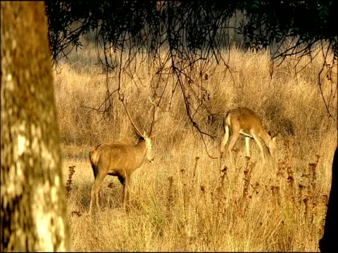 red deer (cervus elaphus) stag follows female, autumn, sierra morena, andalusia, southern spain - antler stock videos & royalty-free footage