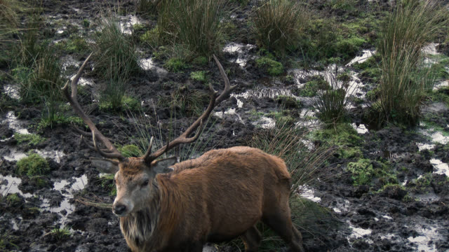 red deer stag in the countryside of dumfries and galloway - deer stock videos & royalty-free footage