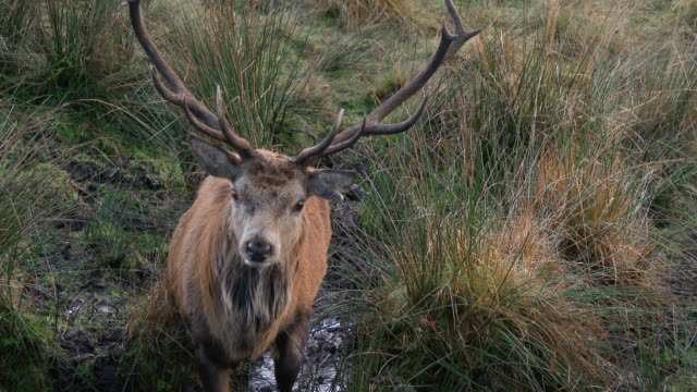 red deer stag in the countryside of dumfries and galloway - antler stock videos & royalty-free footage