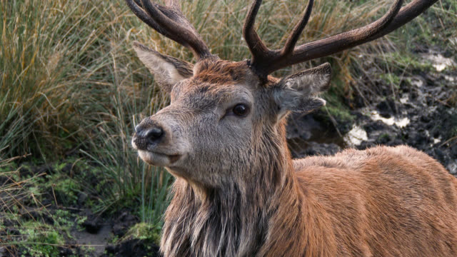 red deer stag in the countryside of dumfries and galloway - galloway scotland stock videos & royalty-free footage