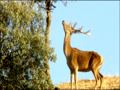 red deer (cervus elaphus) stag jumps up at tree, autumn, sierra morena, andalusia, southern spain - herbivorous stock videos & royalty-free footage