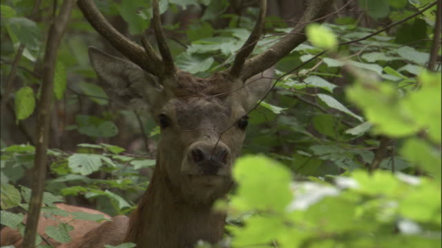 red deer stag looks around in forest, bialowieza, poland - hirsch stock-videos und b-roll-filmmaterial