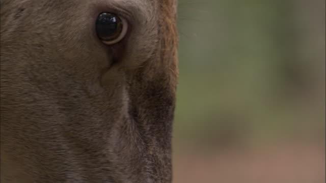red deer stag thrashes antlers on branch, bialowieza, poland - hirsch stock-videos und b-roll-filmmaterial