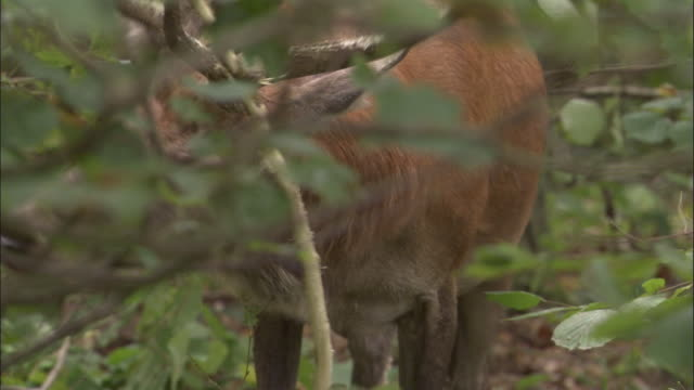 red deer stag thrashes antlers on foliage, bialowieza, poland - rubbing stock videos & royalty-free footage