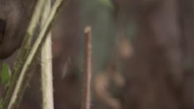 vídeos y material grabado en eventos de stock de red deer stag thrashes antlers on foliage, bialowieza, poland - oreja animal