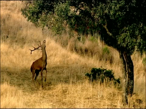 red deer (cervus elaphus) stag under cork oak (quercus suber) tree, stretches up to reach acorns, autumn, sierra morena, andalusia, southern spain - herbivorous stock videos & royalty-free footage