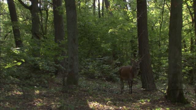 red deer stag walks through forest, bialowieza, poland - 牡鹿点の映像素材/bロール