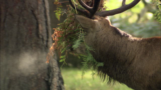 red deer (cervus elaphus) stag with ferns on antlers after fight during rut, richmond park, london, uk - 枝角点の映像素材/bロール