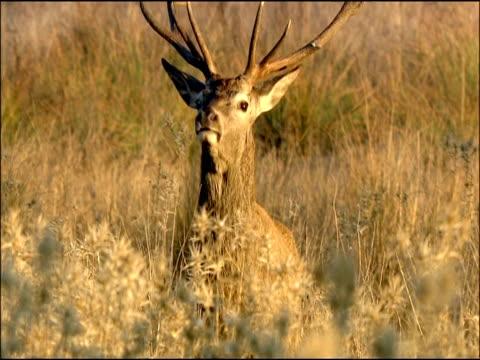 red deer (cervus elaphus) stag with large antlers, autumn, sierra morena, andalusia, southern spain - slätt bildbanksvideor och videomaterial från bakom kulisserna