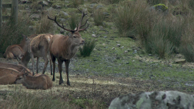 Red deer stag with young deer in rural south west Scotland