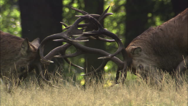 red deer (cervus elaphus) stags clash antlers during rut, richmond park, london, uk - 枝角点の映像素材/bロール