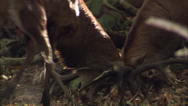red deer (cervus elaphus) stags clash antlers during rut, richmond park, london, uk - hirsch stock-videos und b-roll-filmmaterial