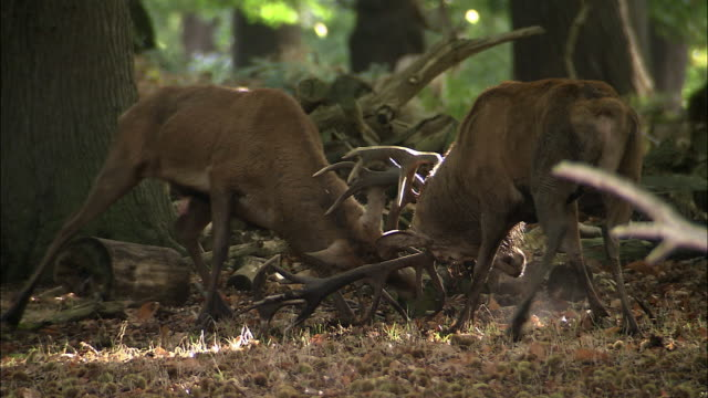 red deer (cervus elaphus) stags clash antlers during rut, richmond park, london, uk - rothirsch stock-videos und b-roll-filmmaterial