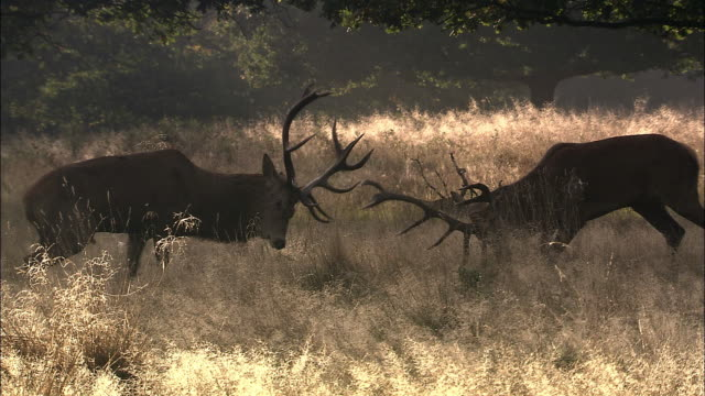 red deer (cervus elaphus) stags clash antlers during rut, richmond park, london, uk - rivalry stock videos & royalty-free footage