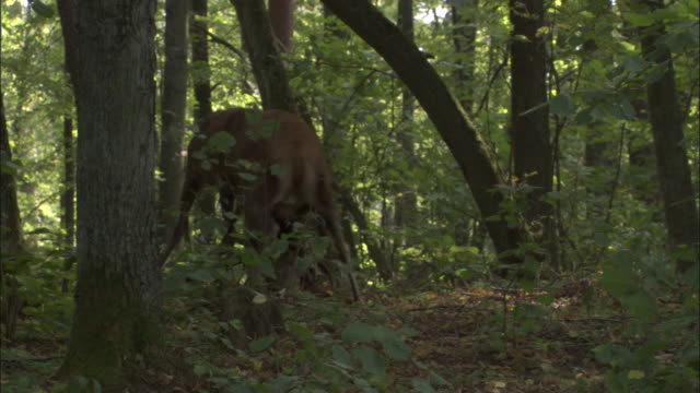 red deer stags clash antlers in forest, bialowieza, poland - rivalry stock videos & royalty-free footage
